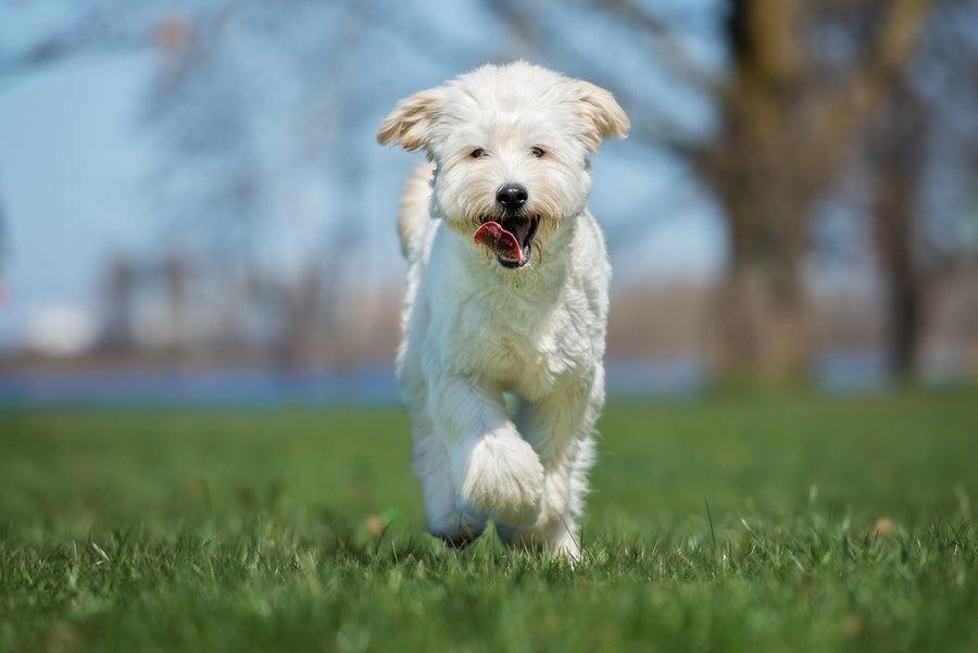 Designer-Dog-Health-Isssues