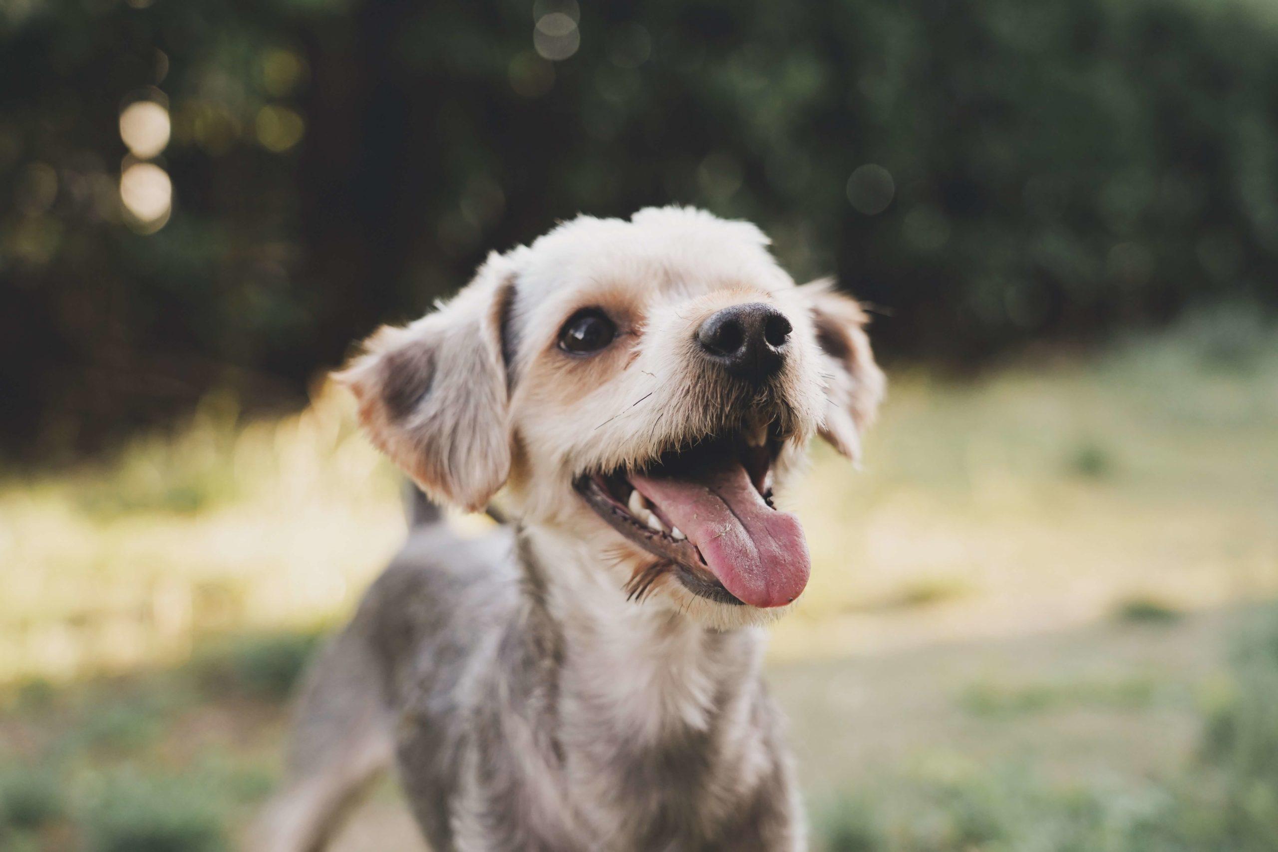 Dental Epulis in Dogs