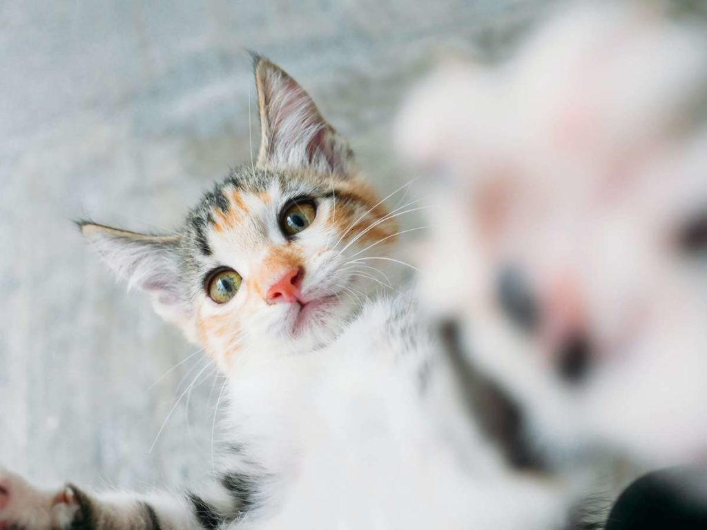 Laser Declawing vs. Traditional Declawing