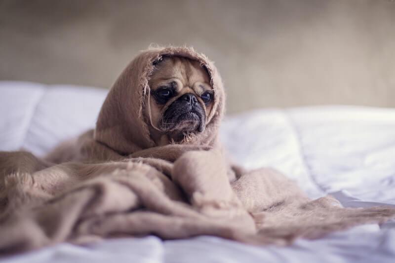 Meningitis in Dogs