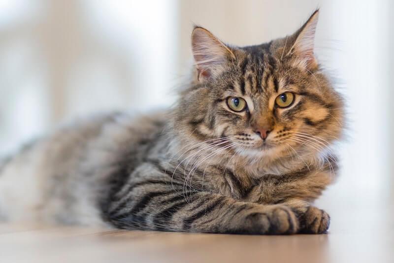 Saddle Thrombus in Cats