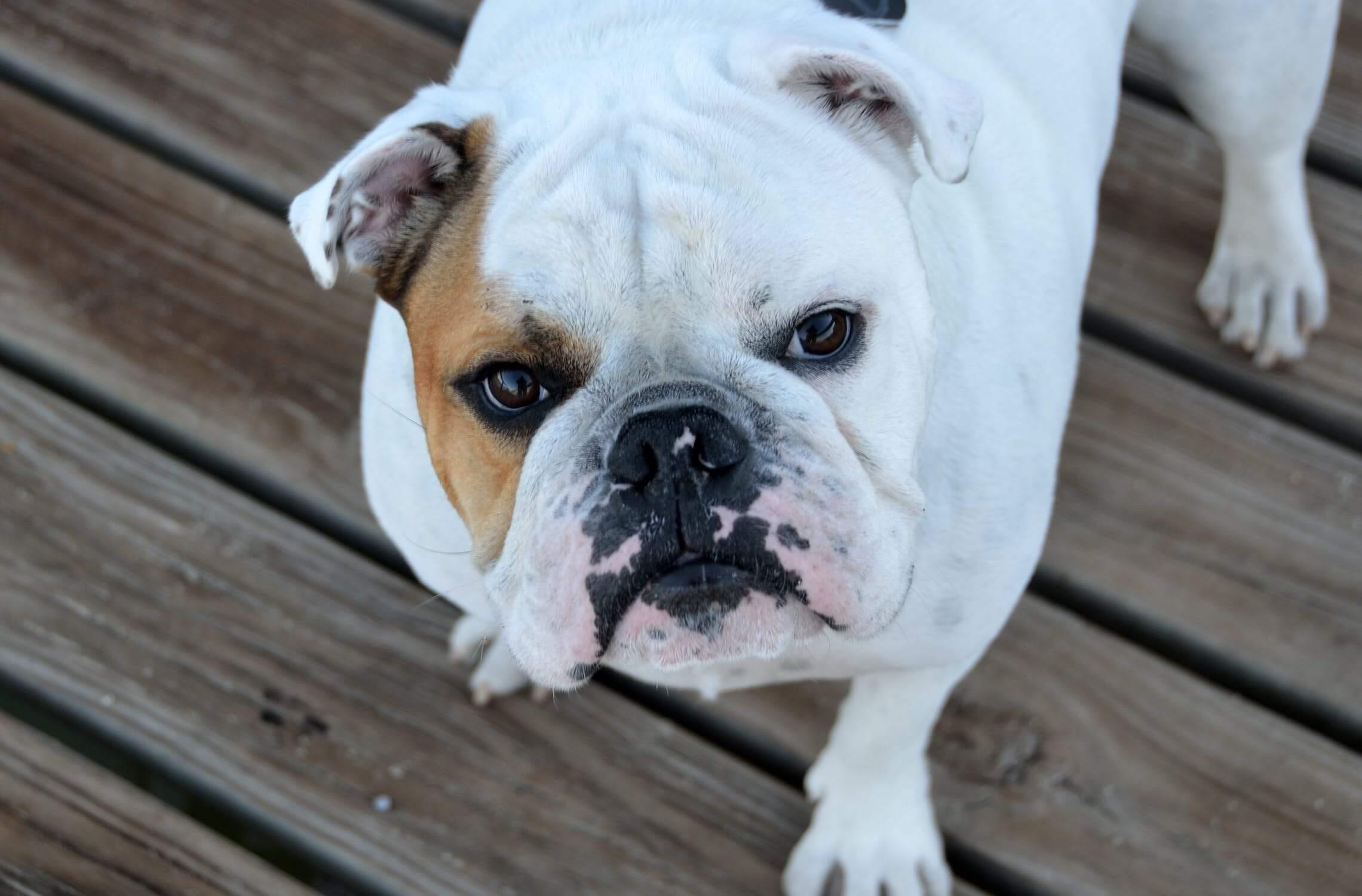 english bulldog pet insurance