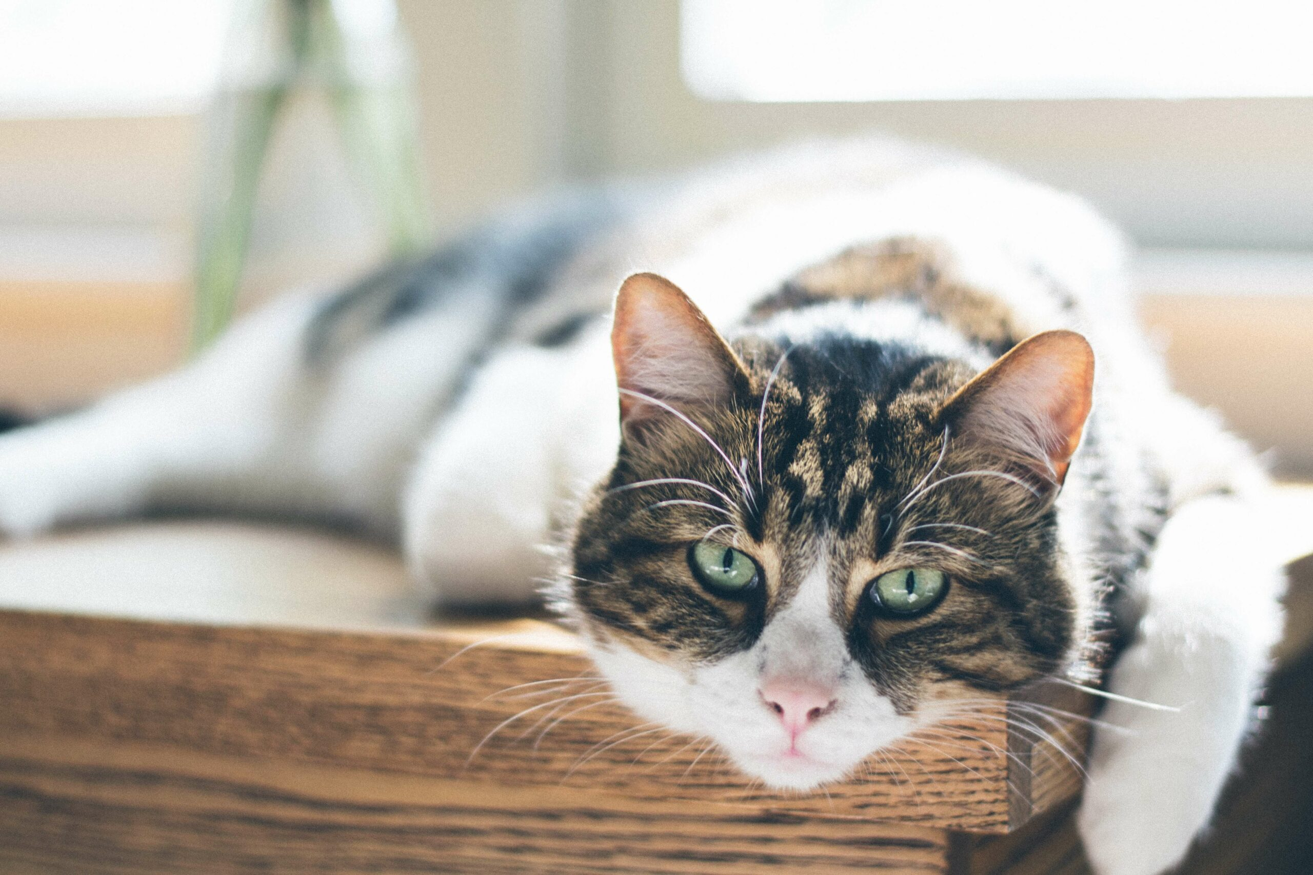 pet insurance for senior cats